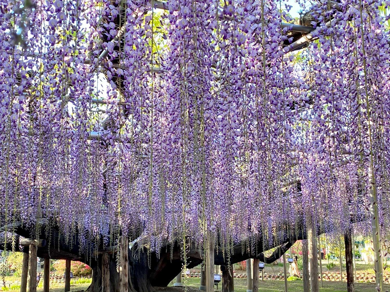 Parc floral d'Ashikaga, Tochigi