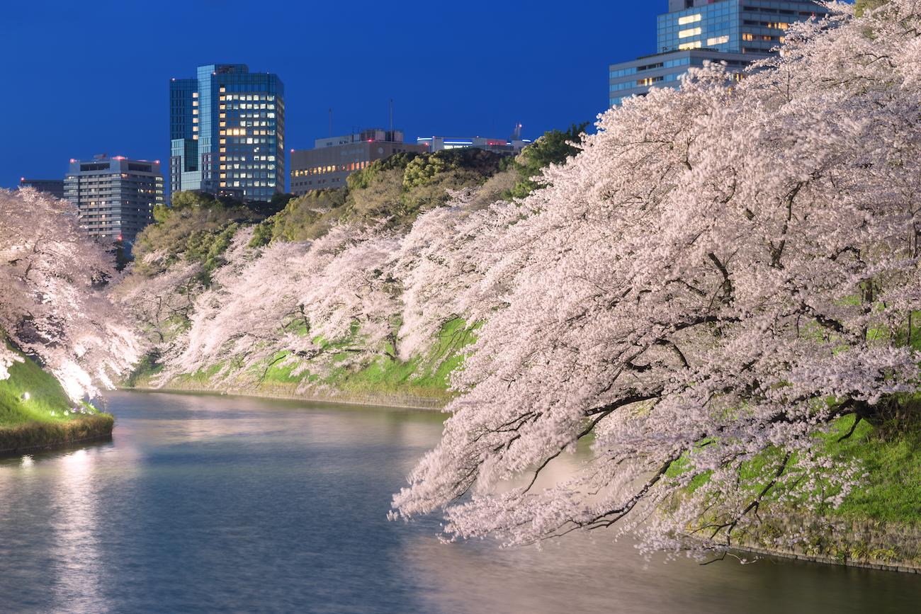 Hanami 花見 : contempler les fleurs de cerisier sakura