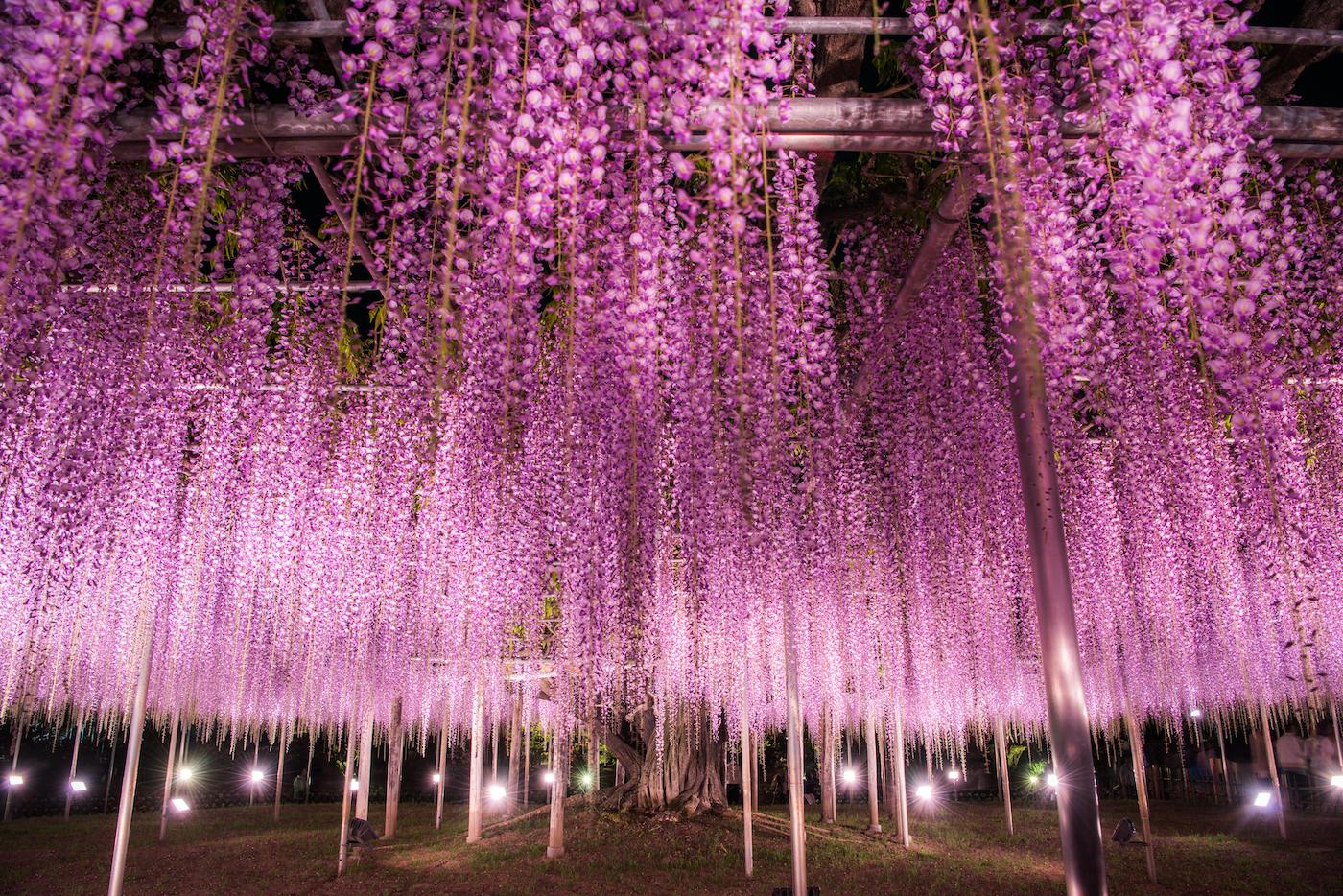 Le parc floral d'Ashikaga (Ashikaga Flower Park)