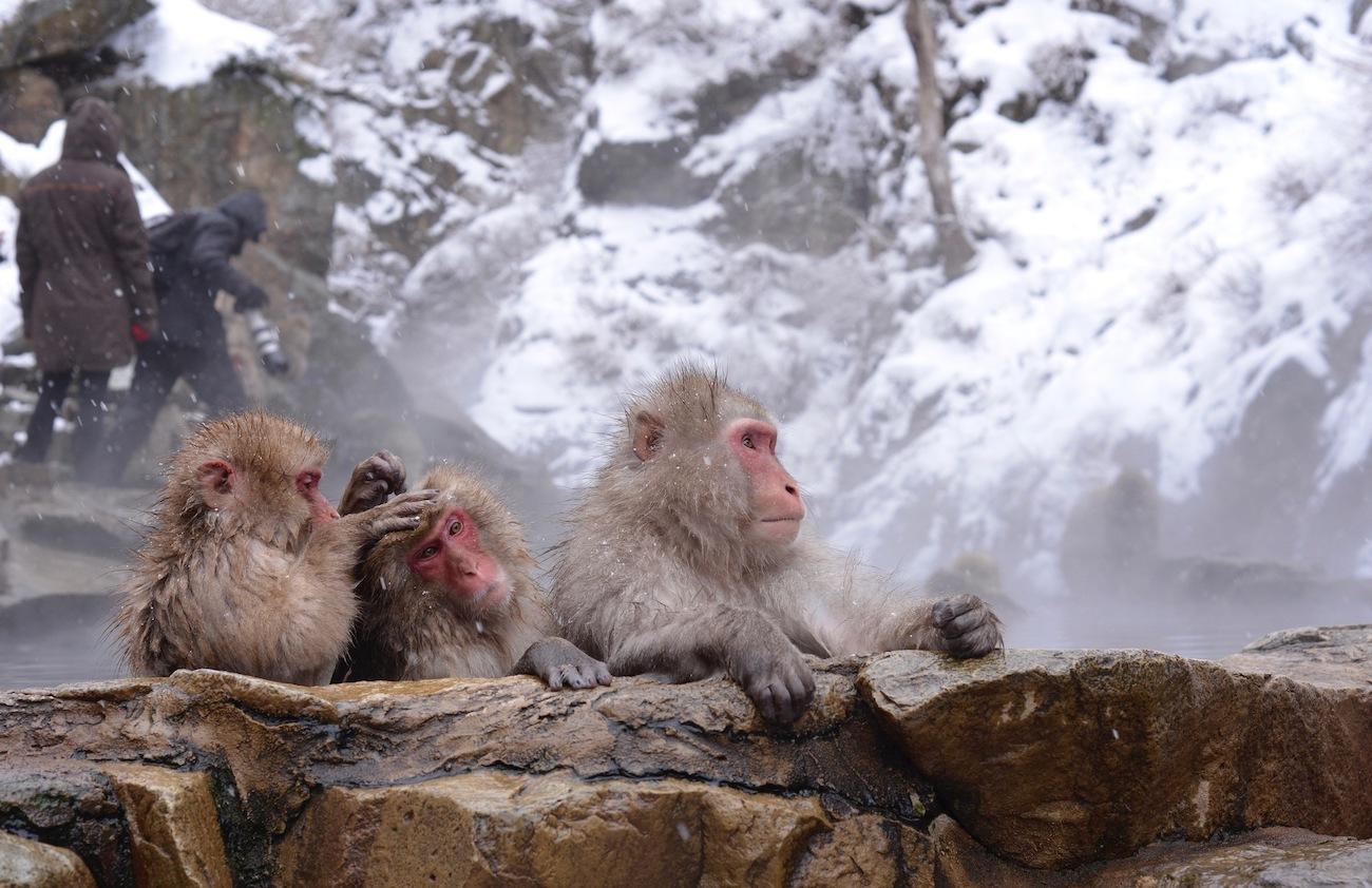 singes japonais dans les onsens