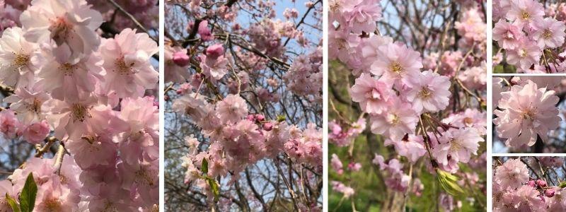 Les fleurs de cerisier Sakura, 桜
